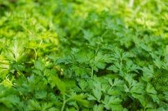 grön parsley Arkivfoto