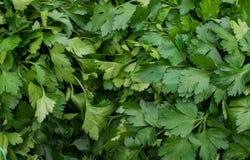 grön parsley Gräsplaner för liv Royaltyfria Bilder