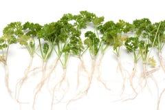 grön parsley rotar royaltyfri fotografi