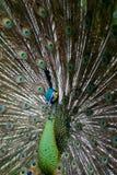 grön peafowl 02 Arkivbild