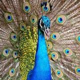 Grön Peafowl Arkivfoton