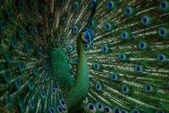 Grön Peafowl, påfågel Fotografering för Bildbyråer