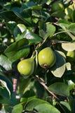 grön pearstree Arkivfoto