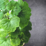 Grön pelargonbuske Arkivfoto