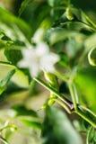 Grön peperoni som växer i grönsakträdgården, kryddiga chilipeppar Fotografering för Bildbyråer