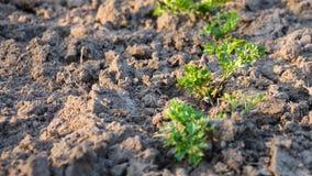 Grön persilja växer i torr jordning i vår fotografering för bildbyråer