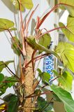 Grön Philodendron Fotografering för Bildbyråer