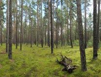 Grön pinjeskog för sommar med mossa Royaltyfri Foto