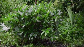 Grön pionbuske i regnet arkivfilmer