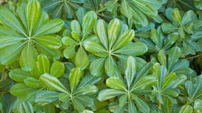 grön pittosporumbusketobira Fotografering för Bildbyråer