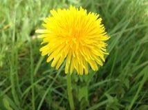 Grön planet och gul blomma i trädgården Royaltyfri Foto