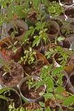 grön plantagroddtomat arkivfoton