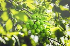 grön plommontree Royaltyfria Bilder