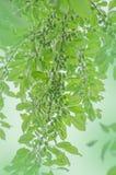 grön plommontree Royaltyfria Foton