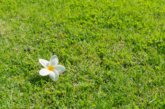 grön plumeria för gräs Royaltyfria Bilder