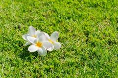grön plumeria för gräs Arkivbilder