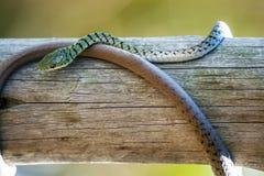Grön prickig Bush orm som rullas ihop runt om trä Arkivfoto