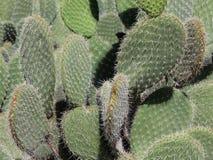 Grönt prickly lämnar av en kaktus Arkivfoto