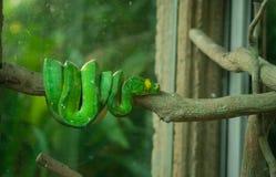 grön pytonorm Fotografering för Bildbyråer