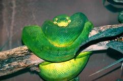 grön pytonorm Royaltyfri Bild