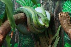 grön pytonorm Arkivfoton