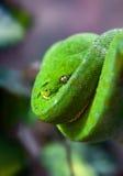 Grön pytonorm med det guld- ögat som hänger på en filial i ett spiralt slut upp Royaltyfri Foto