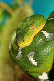grön pytonormtree Arkivbild
