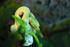 grön pytonormtree Royaltyfri Fotografi