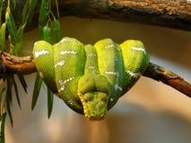 grön pytonormtree Royaltyfria Bilder