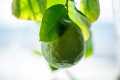 Grön rå limefrukt med sidor på en closeup för trädfilial Begrepp av att växa ny citrusfrukt royaltyfri fotografi