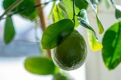 Grön rå limefrukt med sidor på en closeup för trädfilial Begrepp av att växa ny citrusfrukt royaltyfria bilder