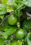 Grön rå passionfrukt som hänger på vinrankan Royaltyfri Bild