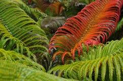 Grön röd sadleriaormbunkebakgrund Royaltyfria Foton