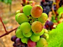 grön rött vin för druvor Royaltyfri Foto