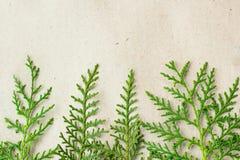 Grön ram för thujaträdfilialer på beige lantlig bakgrund Royaltyfria Bilder