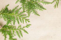 Grön ram för thujaträdfilialer på beige lantlig bakgrund Arkivfoto