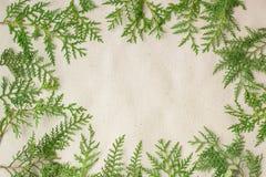 Grön ram för thujaträdfilialer på beige lantlig bakgrund Arkivfoton