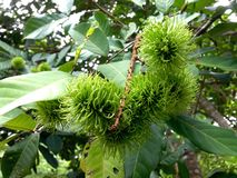 grön rambutan Arkivbilder