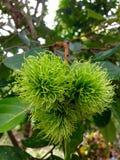 grön rambutan Fotografering för Bildbyråer