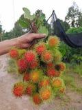 Grön rambutan på rött, fruktodling Arkivbilder