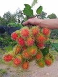 Grön rambutan på rött, fruktodling Arkivfoto