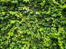Grön ranka eller gröna sidor på väggen royaltyfri fotografi