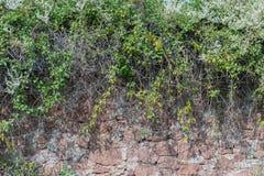 Grön ranka på den gamla väggen arkivbild