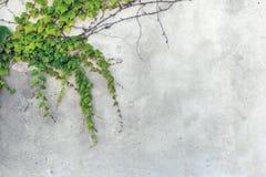 Grön ranka på den gamla väggen fotografering för bildbyråer