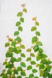 Grön ranka på den vita väggen Arkivbild