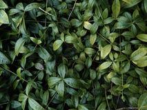 Grön ranka på jordningen Royaltyfria Bilder
