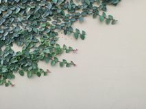Grön rankaväxt på den gamla väggen Arkivbild