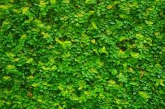 Grön rankaväxt på väggen för bakgrund Arkivbilder