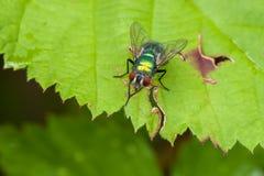 Grön regnbågsskimrande fluga på hallonbladet Royaltyfria Bilder