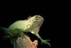 grön reptil royaltyfri bild